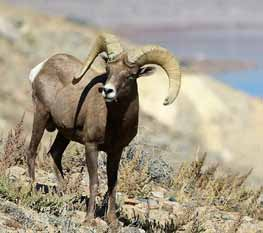 Concerned Residents Raise Questions After Bighorn Sheep Shot and Killed