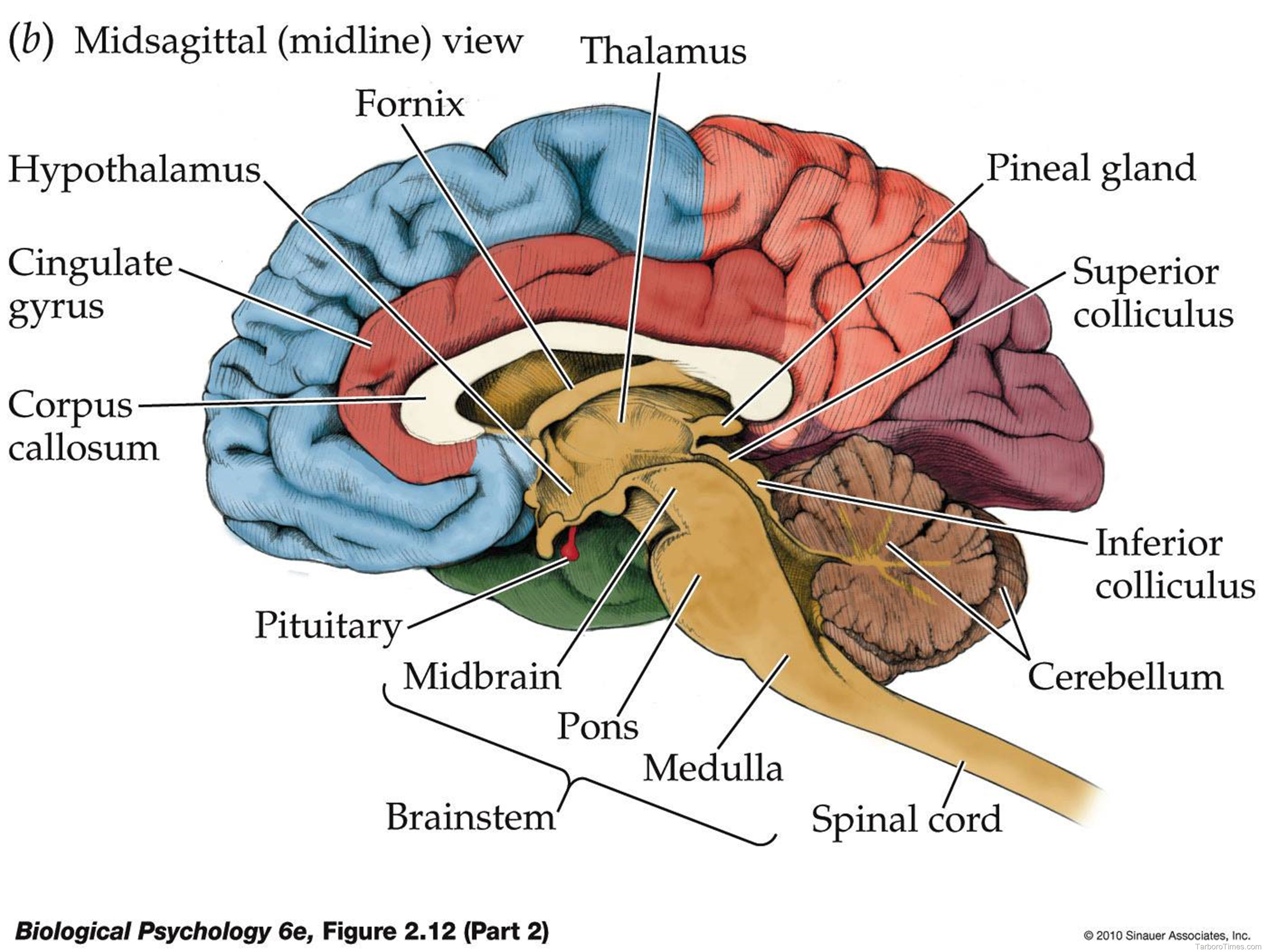 brain model diagram chinese 125cc belt nervous system  anatomy and physiology final project