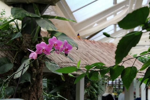Sayn orchid