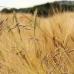 Loreley fields