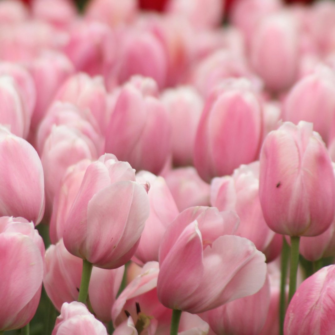 Pink tulips in Aflopark