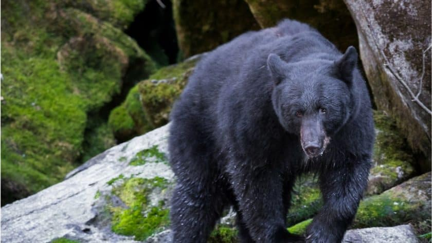 Black Bears Kill 2