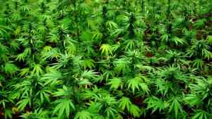 Cannabis Commercial Council Holds Second Meeting