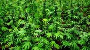 Dry Harbour Mountain of  St. Ann, Jamaica  – Cradle of  Jamaica's Marijuana Production & Illegal  Export Trade