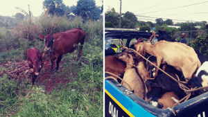 Man Held with 14 Stolen Goats and Three Stolen Cows in Manchester