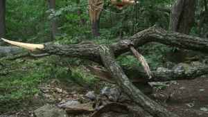 Falling Tree Limb Killed St Mary Man