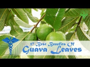 guava : guava leaves health benefits