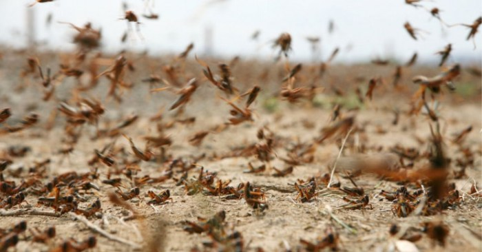 Biblical Troubles? Over 100 billion of locusts swarm East Africa