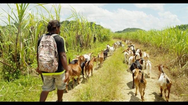 Raising Goats In Jamaica
