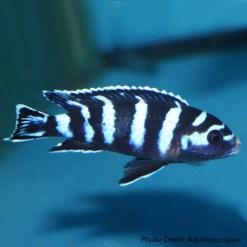 Demasoni Cichlid (Pseudotropheus demasoni)