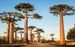 baobab11
