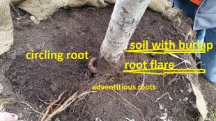 example of burlap tree with circling root 1