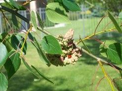 061212 ladybeetle on vagabond aphid