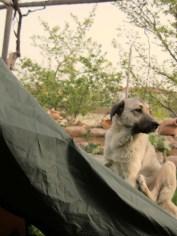 Faithful tent-guarding pooch