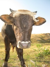 Good Morning Cow