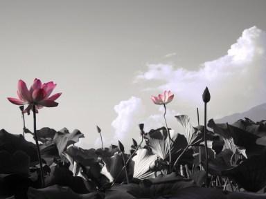 142 'Lotus' - Dal Lake, Kashmir