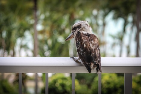 A kookaburra camped on our balcony for more than an hour.