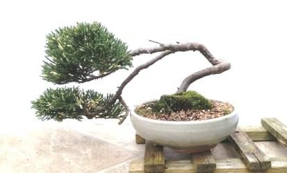Juniper semi cascad