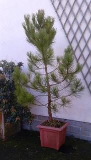 simon-pine2