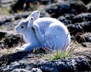 arctic_hare5