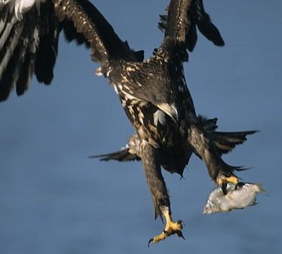 greenland eagle