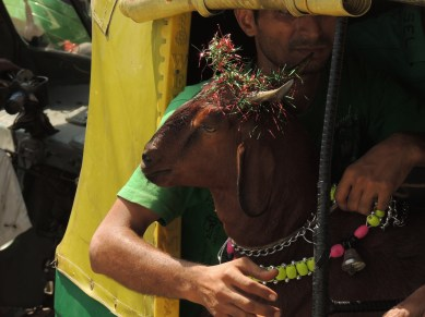 Festival Goat in Taxi