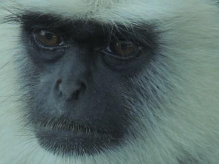 Langpur Monkey