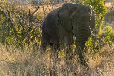 Pictures of Safari of an Elephant on the 2016 Passport to Folk Art: South Africa & Zambia trip with BK Adventures, Nambiti Game Preserve in Kwazulu Natal, South Africa, Africa.