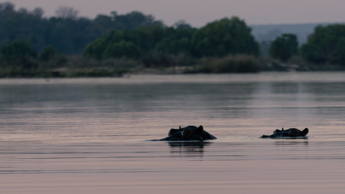 Picture of hippos swimming in Zambezi River, Zambia, Africa while on the 2016 Passport to Folk Art: South Africa trip with BJ Adventures