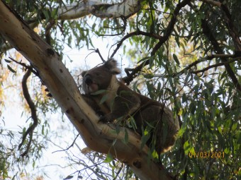Rest Koala