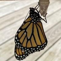 Ze Butterfly