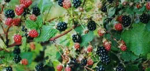 Blackberries [early-late July]