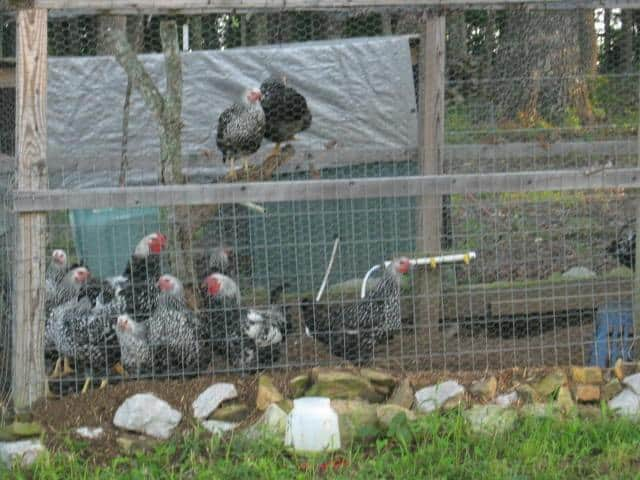 chickens on the homestead property