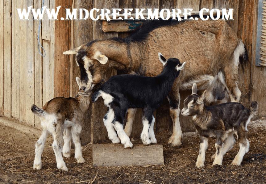 Raising goats guide