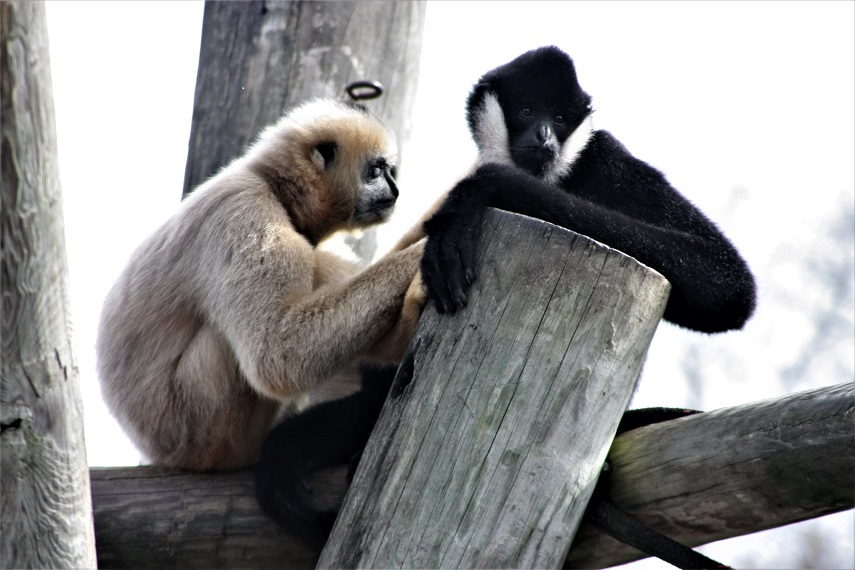 Gibbons grooming each other - small