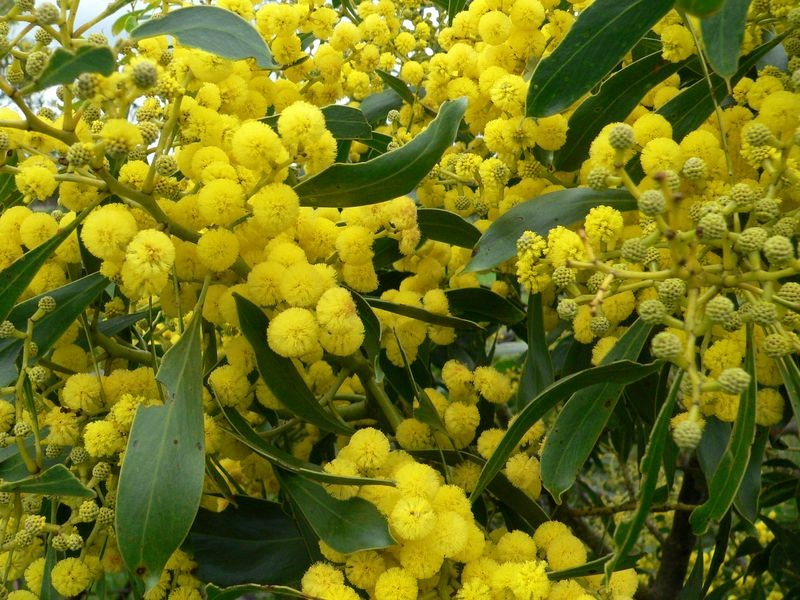 Trove Tuesday- The History Of Wattle Day