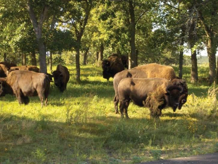 North-dakota-wildlife-buffalo-her-SP