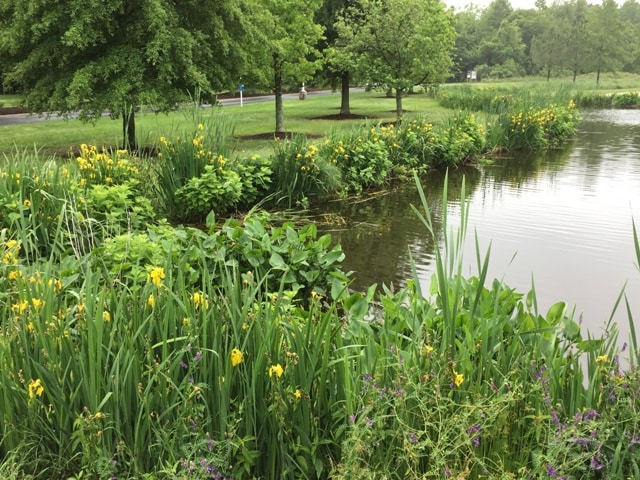 corydalis incisa pond invasive