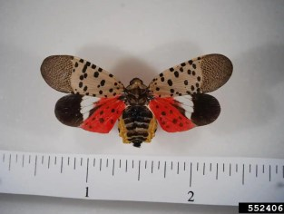 Spotted lanternfly adult. Photo: Pennsylvania Department of Agriculture, Bugwood.org