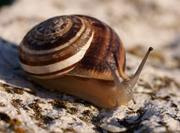 chocolate banded snail