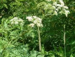 conium plant phu