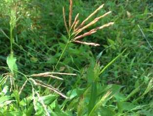 smallcarpetgrass1 313x236