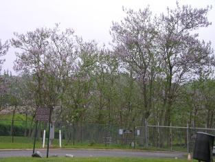 Brighton Dam grove in bloom 5 11 06 S