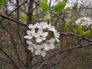 calpear s tangren flowers 2006