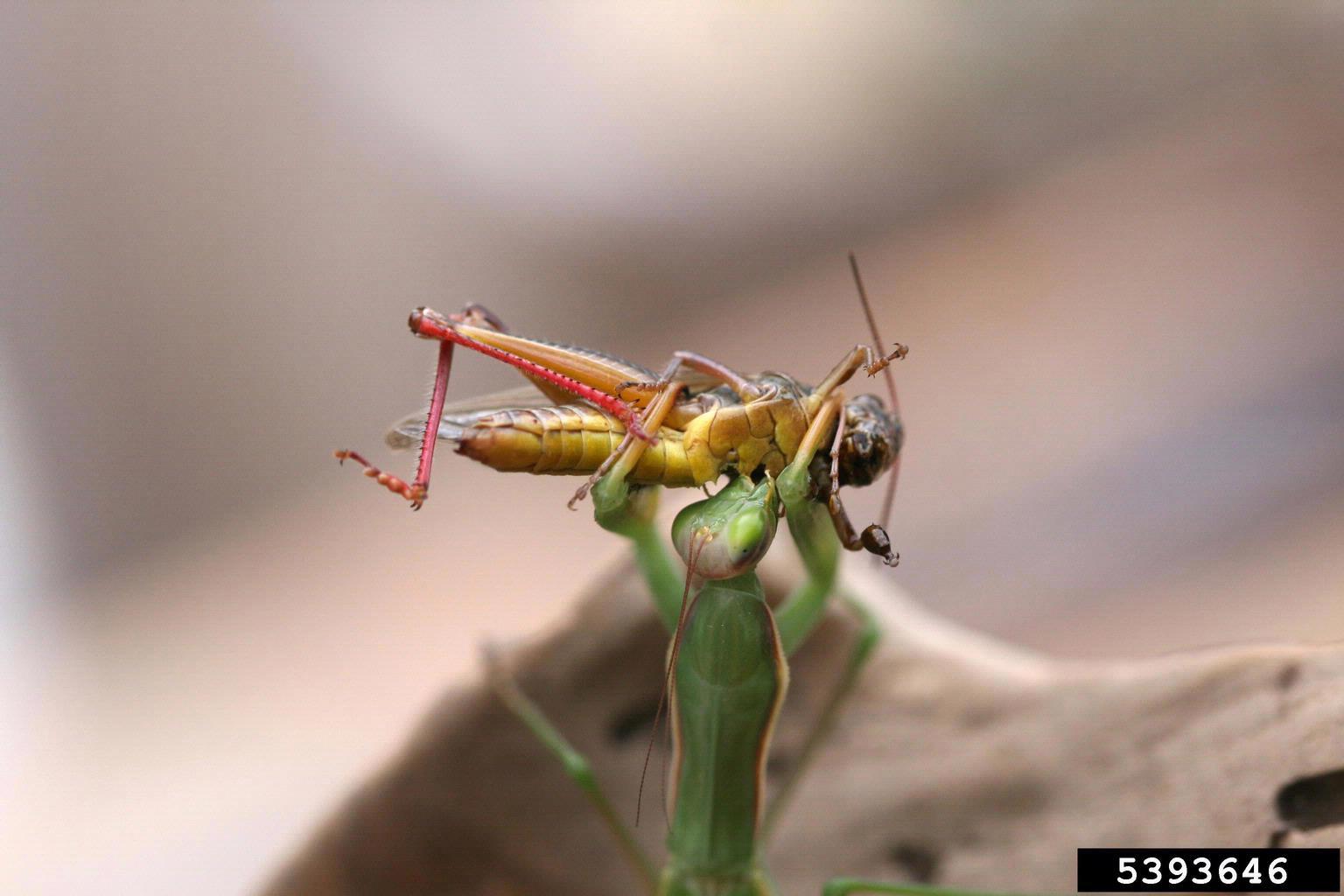 Pray For The Prey Of The Praying Mantis Maryland Invasive