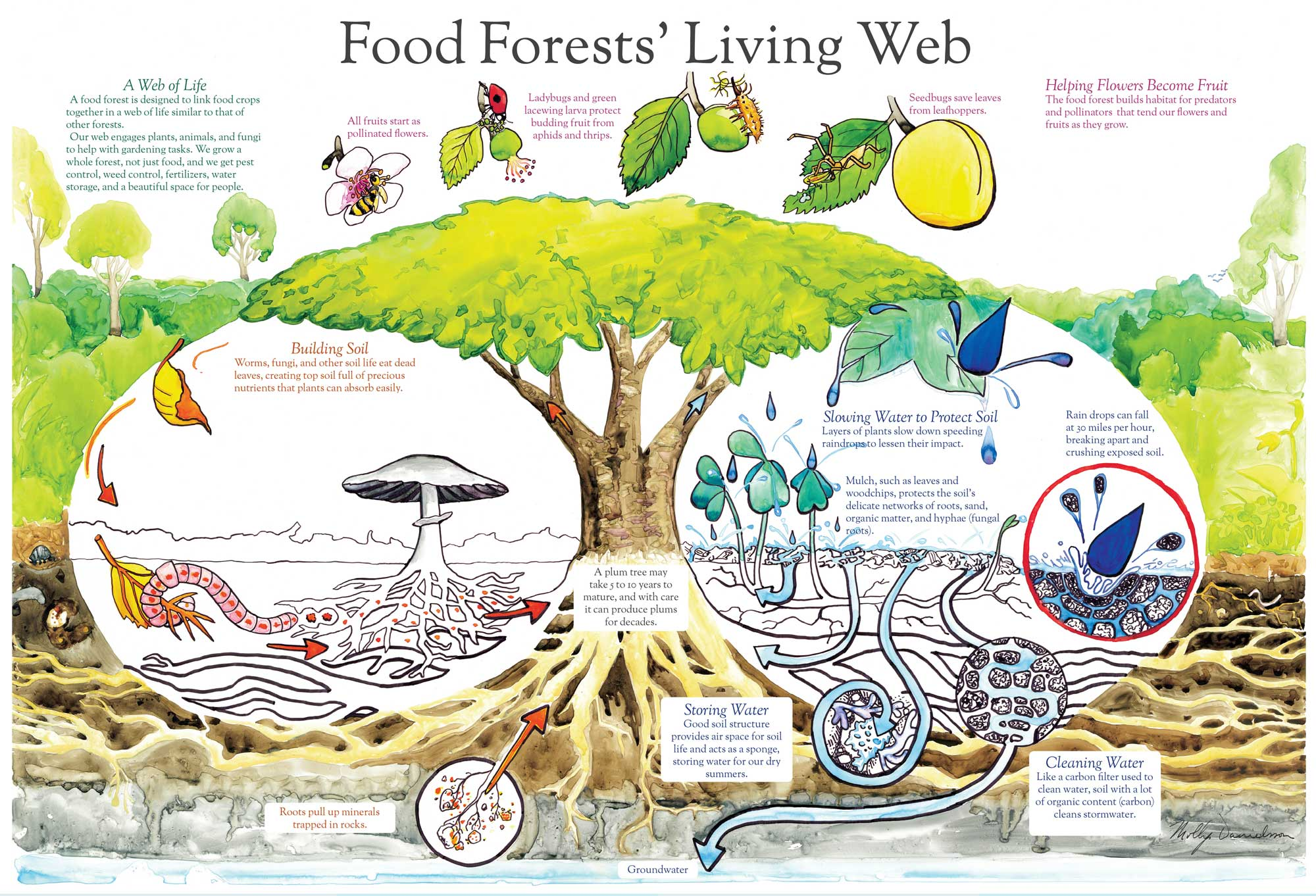 deciduous forest food chain diagram vga connector wiring mdml design  beacon signage