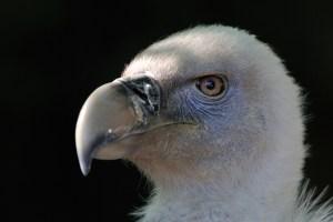 Griffon Vulture - Jean-Jacques Boujot (Creative Commons 2.0)