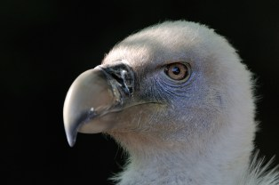 Griffon Vulture - Jean-Jacques Boujot (Creative Commons 2.0)