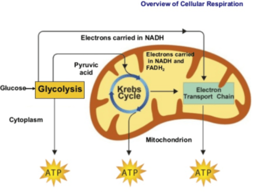 fungus cell diagram labeled wiring for switch cellular respiration - mepedia