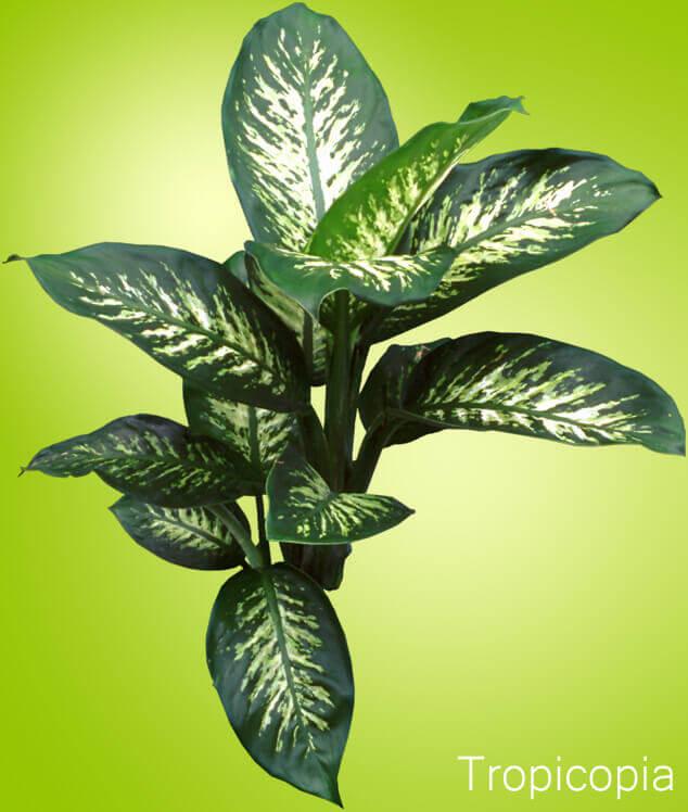 Διεφφεμπάχια – ένα φυτό όμορφο, γεμάτο δηλητήριο